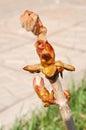 Spring chestnut buds