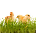 Spring chicken in fresh grass isolated small wheat easter theme Royalty Free Stock Image