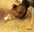 Spring chickens bantam hen with chicks Royalty Free Stock Photos