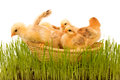 Spring chickens in a basket Stock Image
