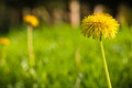 Spring close up of green grass meadow pasture with blooming yellow dandelions