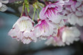 Spring is coming cherry blossoms are in full bloom Stock Photography