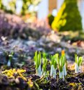 Spring is coming. The first yellow crocuses in my garden on a sunny day Royalty Free Stock Photo