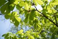 Spring coming, nature is awakening, first chestnut leaves have nice soft green color