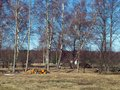 Spring on country landscape with birch trees and wood log pile Royalty Free Stock Image