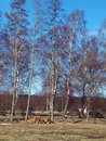 Spring on country landscape with birch trees and wood log pile Stock Photo