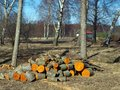 Spring on country landscape with birch trees and wood log pile Stock Images