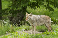 Spring coyote alpha female in Royalty Free Stock Photography