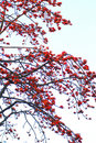 Spring Crimson kapok flowers Stock Images