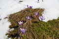 Spring crocus crocus vernus snow melting and Royalty Free Stock Images