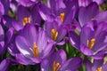 Spring Crocus Flowers Royalty Free Stock Photo
