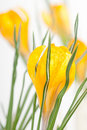 Spring crocus flowers Stock Image