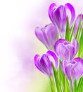Spring crocus flowers Royalty Free Stock Photo