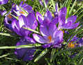 Spring crocus flowers beautiful purple in an english country garden Stock Photos