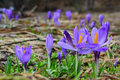 Spring crocus flowers many biflorus on mountain meadow in early Royalty Free Stock Photos