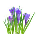 Spring crocuses isolated on white Stock Photo
