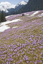 Spring crocuses in mountains colourful flowers on the background of tatra landscape Stock Image