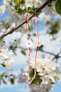 Spring custom white and red threads tied together like bracelets hanging in the branch of a cherry blossom tree Stock Images