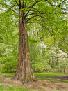 Spring Cypress Tree Royalty Free Stock Photo