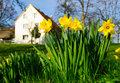 Spring daffodil farm Royalty Free Stock Photography