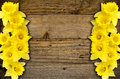 Spring daffodils border or frame background against a rustic wooden plank popular symbol of the season and great for garden Stock Image