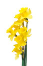 Spring daffodils border or frame background a popular symbol of the season whose flowers bloom during Stock Image