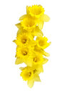 Spring daffodils border or frame background a popular symbol of the season whose flowers bloom during Stock Images