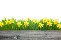 Spring daffodils flowers with copy space for your message Royalty Free Stock Photo