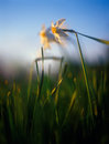 Spring daffodils in the warm light of sunset. Royalty Free Stock Images
