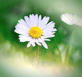 Spring daisy beautiful close up Royalty Free Stock Images