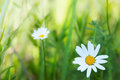 Spring daisy stock image charm of summer Royalty Free Stock Images