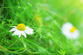 Spring daisy stock image charm of summer Stock Images