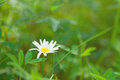 Spring daisy stock image charm of summer Royalty Free Stock Photography