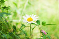 Spring daisy stock image charm of summer Stock Photos