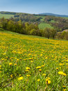 Spring dandelion meadows green pasture overgrown with dandelions and clear blue sky Stock Images