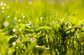 Spring dewy and blur  grass in morning Stock Photo