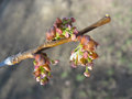 Spring. Elm twig with melting catkins Royalty Free Stock Photo