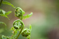 Spring ferns unfurl close up on young also known as fiddleheads as they shallow depth of field against a soft bokeh Stock Images