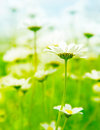 Spring field of daisies Royalty Free Stock Photo