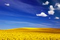 Spring field landscape of yellow flowers rape blue sunny sky backgrounds Royalty Free Stock Image