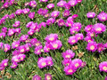 Spring field pink flower closeup on the grass. Royalty Free Stock Photo