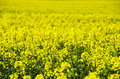 Spring field of rape photo shows a beautiful Stock Photos