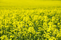 Spring field of rape photo shows a beautiful Royalty Free Stock Photos