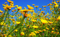Spring field of yellow daisies Stock Photo