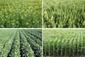Spring fields corn wheat rapeseed and soy field in Royalty Free Stock Photo