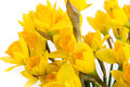 Spring floral border, beautiful fresh daffodils flowers, isolated on white background. Royalty Free Stock Photo