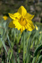 Spring floral border, beautiful fresh narcissus flowers Royalty Free Stock Photo