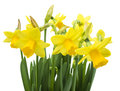 Spring floral border beautiful fresh narcissus flowers isolated on white background Stock Photos