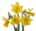 Spring floral border beautiful fresh narcissus flowers isolated on white background Stock Photography