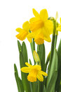 Spring floral border beautiful fresh narcissus flowers isolated on white background Royalty Free Stock Photo